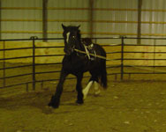 Zeus, Drum Horse gelding.  Lunging exercises